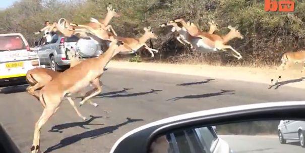 Aнтилопа спаслать в джипе от гепардов + Видео