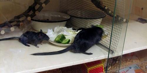 В Немецкий парламент вселились крысы
