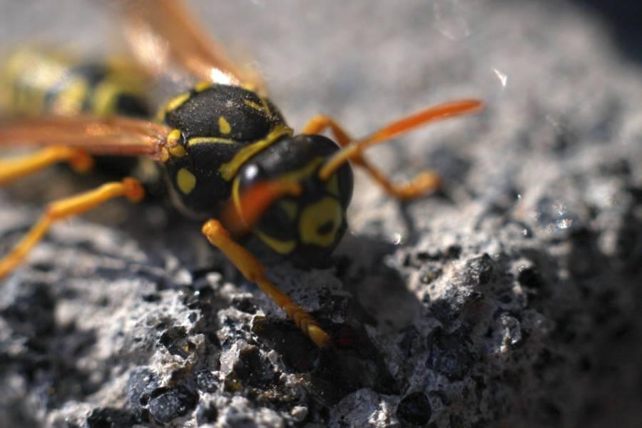 На территории Латвии начался период, когда осы наиболее активны