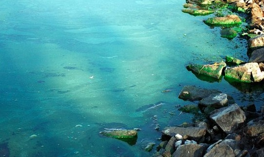 В Балтийском море обнаружены опасные сине-зеленые водоросли.