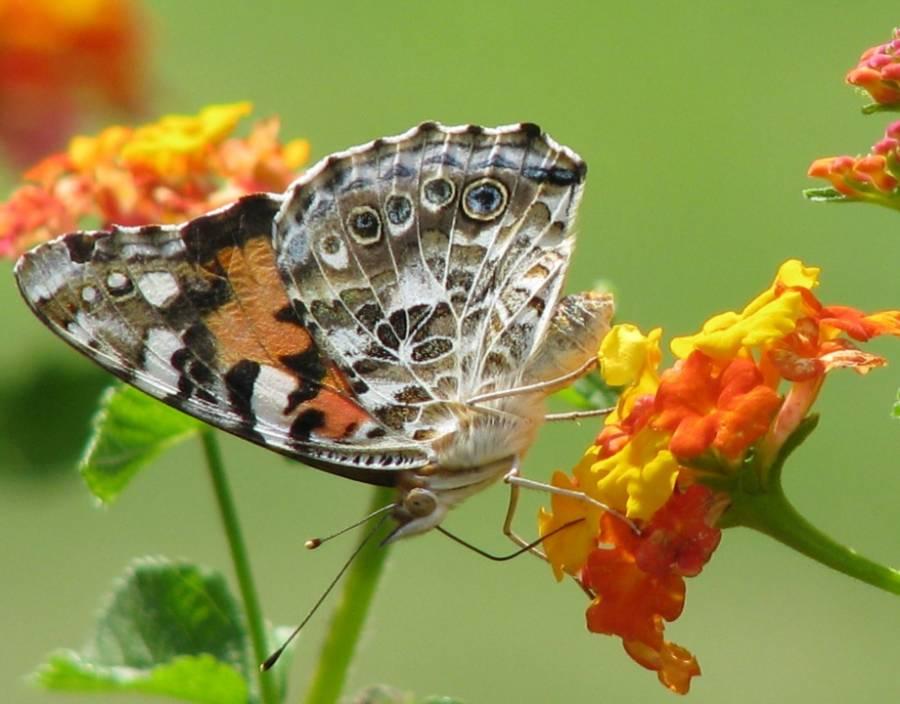 В Латвии впервые открывается сезон наблюдения за бабочками